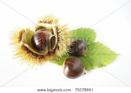 chestnuts with thorny shell and green leafs