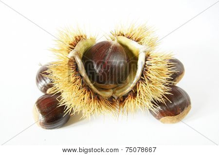 chestnuts with thorny ball shell