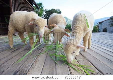 Merino Sheep Eating Green Grass Leaves On Wood Floor Of Beautiful Ranch Farm In Rural Agriculture