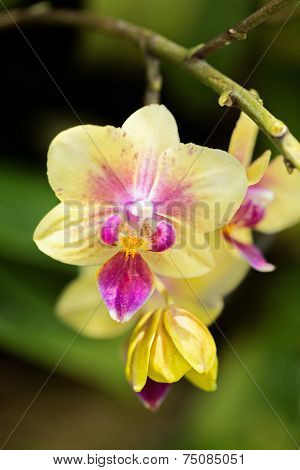Yellow And Pink Beautiful Orchid Ascocentrum Miniatum