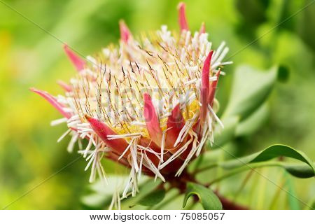 S. African Plant Protea Cynaroides,  Also Known With Common Name King Sugar Bush