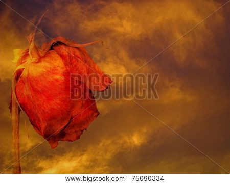 Dying rose against stormy clouds