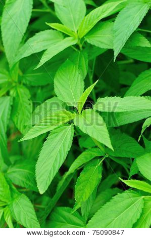 stinging nettles plants in growth in vegetable garden