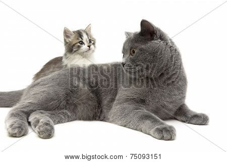 Adult Cat And Small Kitten On A White Background