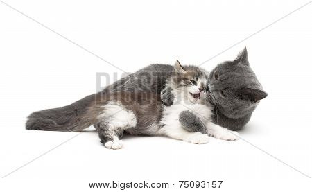 Gray Cat Plays With A Small Kitten Isolated On White Background