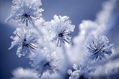 picture of freezing temperatures  - Close up of flower covered with ice and snow - JPG