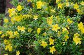 foto of trumpet flower  - golden trumpet blooming in garden - JPG