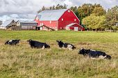 picture of dairy barn  - Dairy cattle and a red barn on a farm - JPG