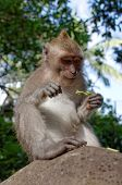 stock photo of macaque  - crab - JPG