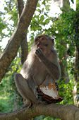 pic of macaque  - crab - JPG