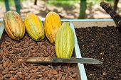 Cocoa and Coffee beans with Cocoa fruit