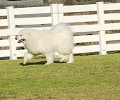 pic of wolf-dog  - A young beautiful white fluffy Samoyed puppy dog walking on the grass - JPG