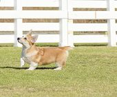 pic of corgi  - A young healthy beautiful red sable and white Welsh Corgi Pembroke puppy dog with a docked tail walking on the grass happily - JPG