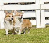 foto of corgi  - Two young healthy beautiful red sable and white Welsh Corgi Pembroke dogs with a docked tail walking on the grass happily - JPG