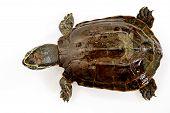 foto of terrapin turtle  - Eastern box turtle sitting on white background - JPG