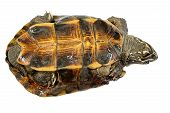 picture of terrapin turtle  - Turtle Turtle upside down trying to turn over - JPG