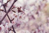 foto of sakhalin  - japan cherry sakura flowers in bloom closeup photo - JPG
