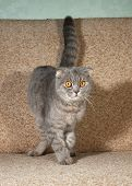 stock photo of scottish-fold  - Scottish fold gray cat standing on brown couch - JPG