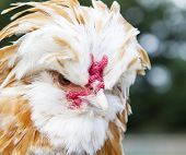 foto of buff  - Close up portrait of a Buff Laced Polish chicken - JPG