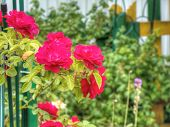 image of climbing rose  - Bright red climbing roses in the summer garden.