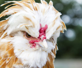 pic of wacky  - Close up portrait of a Buff Laced Polish chicken - JPG
