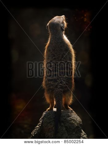 Meerkat On A Rock Against The  Sunset