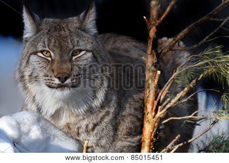 Portrait of lynx lying on snow