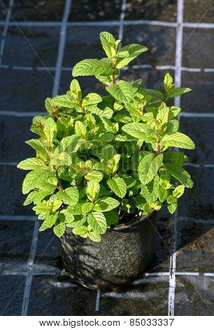 Mint Plant Growing In A Black Plastic Pot
