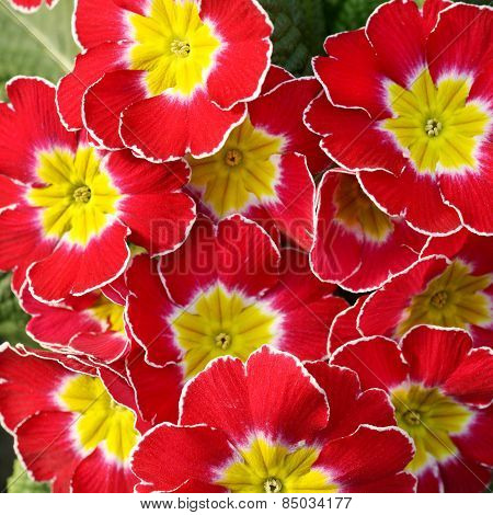 Colorful Yellow And Red Primroses