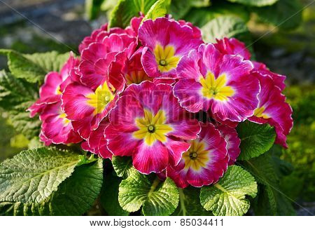 Flowering Red And Yellow Bicolor Primrose