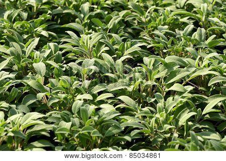 Plantation Of Young Sagebrush Seedlings