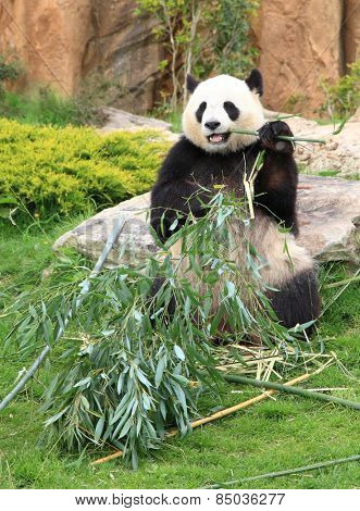 Giant panda sitting and eating bamboo leaf