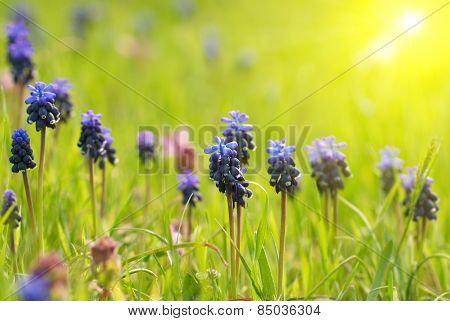 Hyacinthes With Green Grass