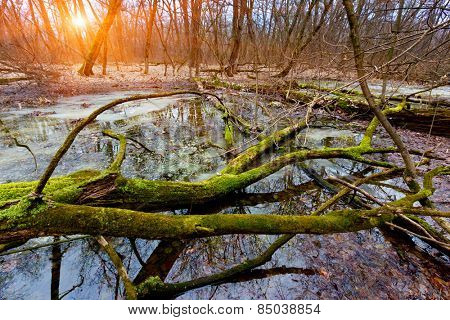 old tree on bog in deep forest