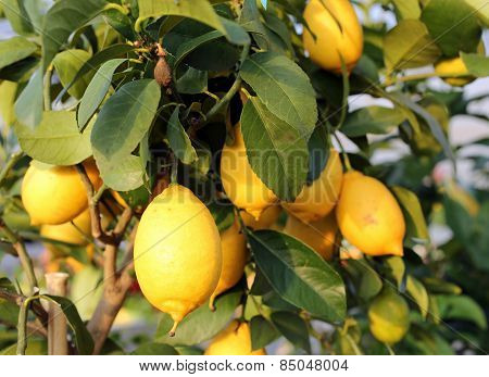 Ripe Lemons In The Tree Of The Orchard Of The Mediterranean European Country