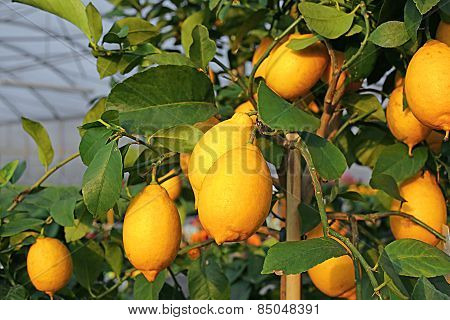 Yellow Lemons In The Tree Of The Orchard Of The Mediterranean Country