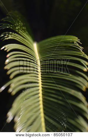 Sago Palm Leaves.
