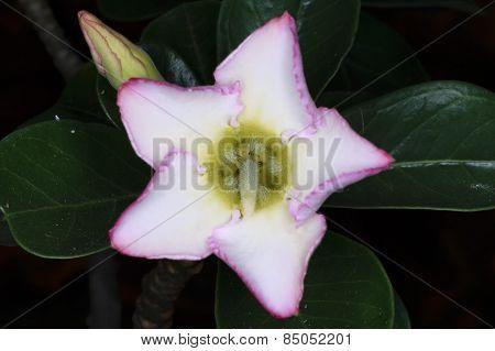 Close  up  white  desert  rose
