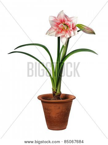 blooming amaryllis in ceramic pot isolated on white background