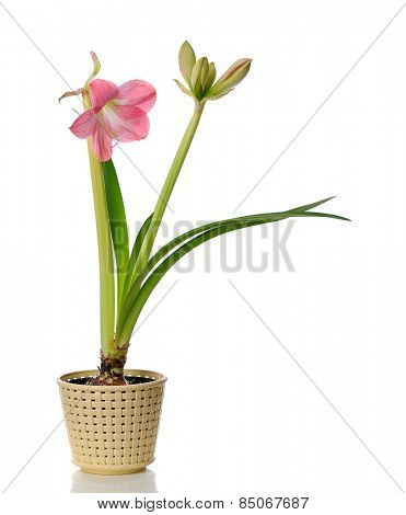 blooming amaryllis in  pot isolated on white background