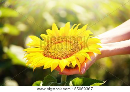 Beautiful sunflower in hands on sunny nature background