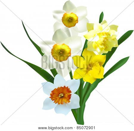 illustration with narcissus flowers isolated on white background