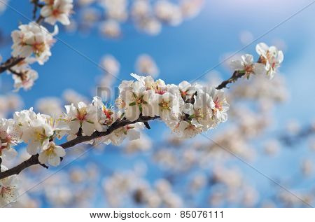 Branch of spring almond. White tree. Nature composition.