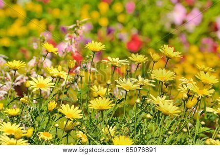 Golden Marguerite, Anthemis tinctoria in garden