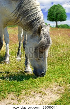 White Horse Grazing On A Green Meadow