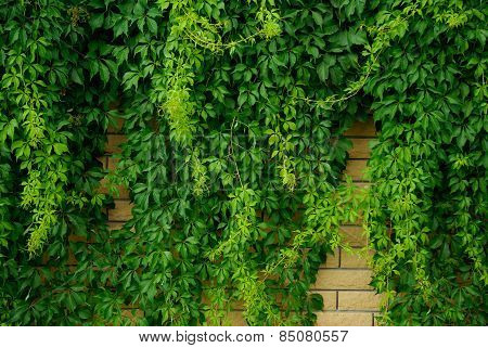 Stone Wall Overgrown With Green Leaves Climbing Plant