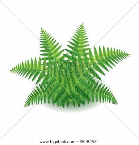 Fern Isolated On White Vector