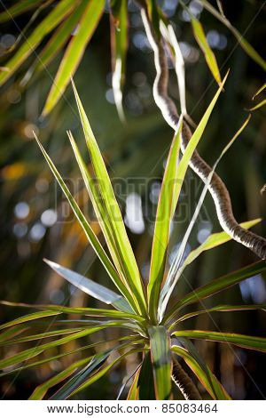 Sunlight shining on the long, thin green leaves of a Madagascar Dragon tree plant (Dracaena Marginata).