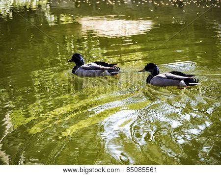 Male Mallards - Springtime Ducks