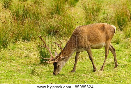 Majestic Red Deer stag feeding